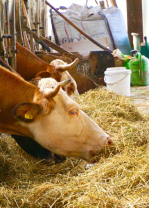 Horntragende Rinder in einem Kuhstall
