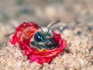 Mohnbienen-Weibchen bewacht ihren Nesteingang