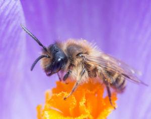 Wildbiene auf orangem Samenstand