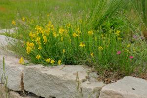 Wildpflanzen an einer Trockenmauer