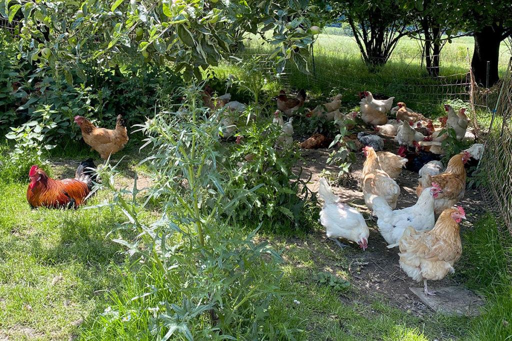Hühner haben bei den Herrmannsdorfer Werkstätten viel Auslauf im Freien