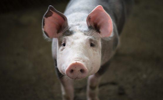 Ein Schwein in Nahaufnahme blickt i die Kamera