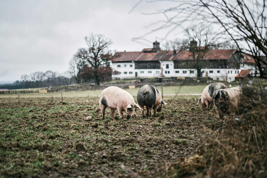 Weideschweine haben fressen auf der Weide vor den Herrmannsdorfer Landwerkstätten