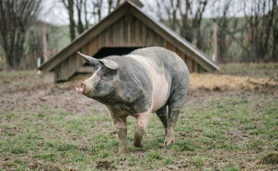 Weideschweine läuft auf einem Feld frei herum. Im Hintergrund ist eine Futterhütte zu sehen.