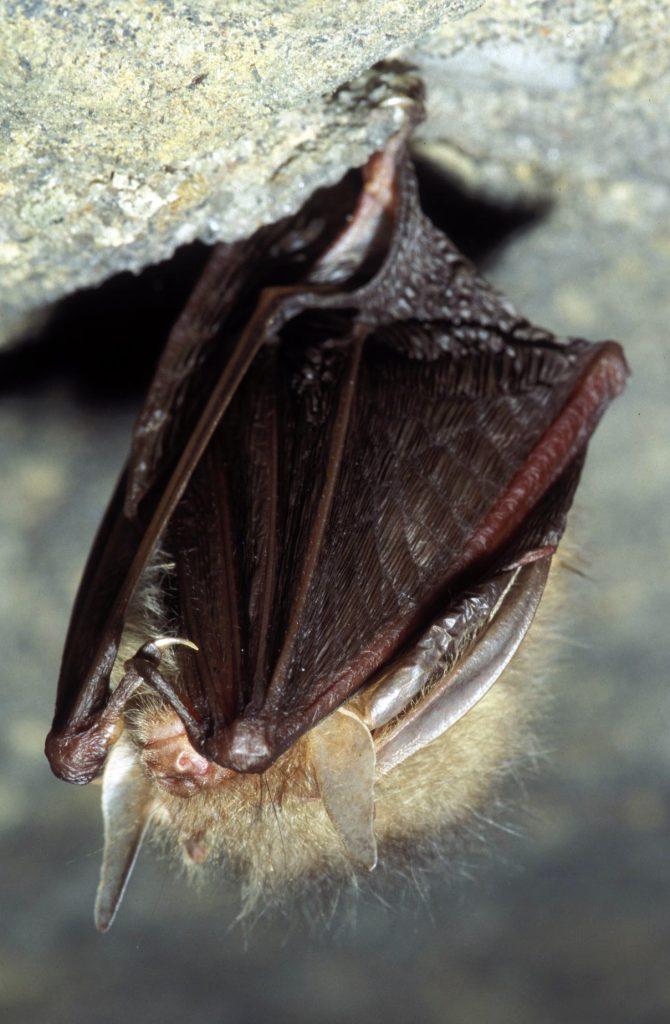 """Eine Fledermaus der Art """"Braunes Langohr"""" an der Höhlendecke im Winterquartier"""