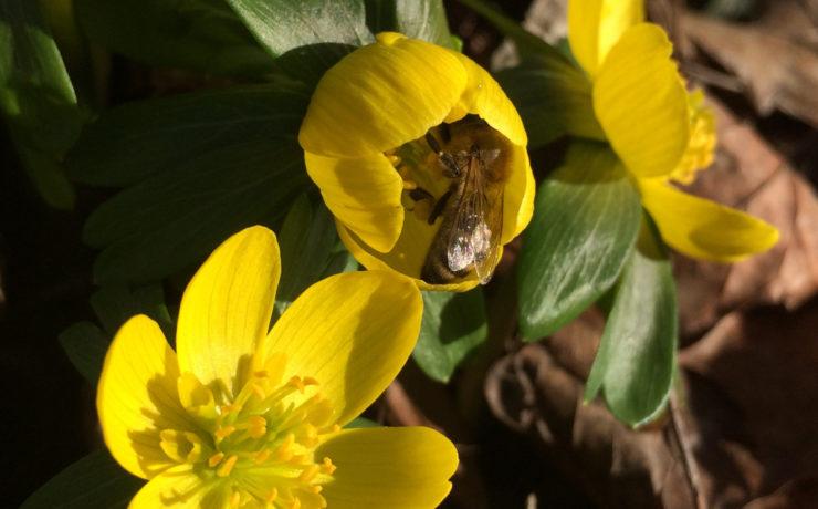 Nahaufnahme von drei knallgelben Winterlings-Blüten, mit grünem Blätterkranz, eine Blüte ist noch nicht ganz aufgegangen und wird von einer Biene besucht. Foto: Ute Heek