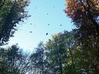 Baumkronen aus der Sicht eines Spaziergängers von unten, einige Blätter in der Luft,blauer Himmerl im Hintergrund