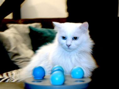 """Weißer Kater """"Chewbacca"""" mit leuchtend blauen Augen sitzt vor einem blauen Spielzeug mit Bällchen."""