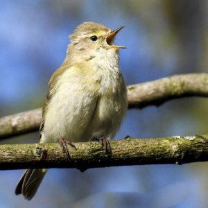 Ein Zilpzalp sitzt auf einen Ast und singt.
